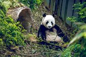 Giant panda relaxing