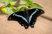 image of breathtaking  - Icy blue and jet black color of this breathtaking butterfly gem - JPG