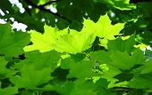 foto of enlightenment  - close photo of fresh green maple leaves enlightened with the sun - JPG