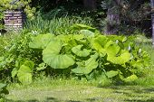 pic of butterbur  - Group of common butterburs  - JPG