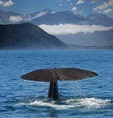 stock photo of sperm  - Sperm whale starts a deep dive at the coast near Kaikoura  - JPG