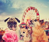 stock photo of begging dog  - three dogs at a carnival of fair eating pink cotton candy toned with a retro vintage instagram filter effect app or action  - JPG