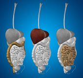 image of digestive  - Concept or conceptual anatomical human or man 3D set or collection of digestive system on blue background - JPG