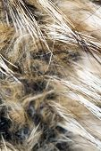picture of raccoon  - Close up photo of brown raccoon fur as background.