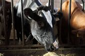 stock photo of dairy barn  - cow lined up on the farm in the barn eating - JPG