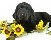 image of newfoundland puppy  - Very sweet Newfoundland puppy laying down with sunflowers around her on a white background - JPG
