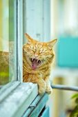 foto of yawn  - A red yawning cat on the window - JPG