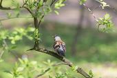 pic of snowbird  - fieldfare on a branch of spring tree - JPG