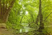 pic of swamps  - Magical summer swamp deep in the forest with leaning oak trees creating tunnel - JPG