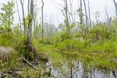 stock photo of swamps  - Foggy overgrown swamp or marsh woods early in the morning - JPG