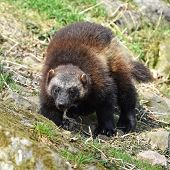 picture of wolverine  - wolverine walking around in its natural habitat - JPG