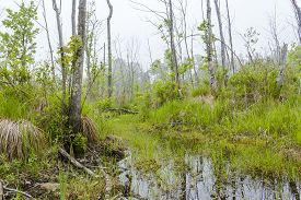 foto of marshes  - Foggy overgrown swamp or marsh woods early in the morning - JPG