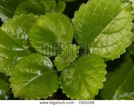 Picture Or Photo Of Green Leaves Of Swedish Ivy House