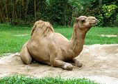 dromedary camel sit on sand