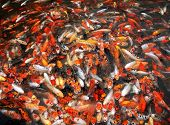 mass of carp fish in the pool