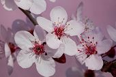 Plum Tree Blossoms Closeup
