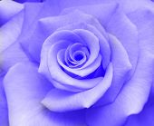 Flower - Blue Rose