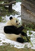 Giant Panda Bear Eating Bamboo Leaf