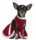 Chihuahua, 4 months old, dressed in Santa dress, sitting in front of white background