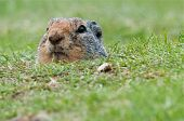 stock photo of gopher  - Curious gopher looking out of its hole - JPG