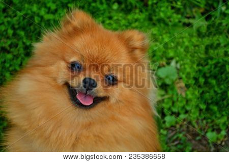 poster of Smile Of Dog Pomeranian Spitz. Portrait Pomeranian Smiling Dog. Cute Fluffy Pomeranian Dog With Smil