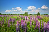 Beautiful Rural Landscape With Purple Flowers On A Wild Meadow. Clear Sunny Summer Day. White Clouds poster