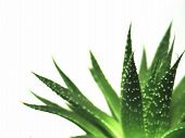 stock photo of aloe-vera  - aloe vera leaves detailed - JPG
