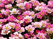 Background Little Pink Flowers Plant. Saxifraga Pink Little Flowers Background. Purple Flowers Or Pi poster