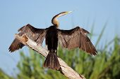 Darter With Open Wings