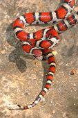 Young Red Milk Snake