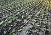 Salad Lettuce Field With Irrigation System. Landscape View Of Rows Of Freshly Growing Salad Field. S poster