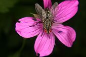 pic of blowfly  - Blowfly  - JPG