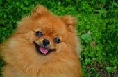 Smile Of Dog Pomeranian Spitz. Portrait Pomeranian Smiling Dog. Cute Fluffy Pomeranian Dog With Smil poster