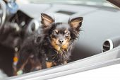 Dog In Car Window. Funny Chihuahua Dog Looks Out Of A Car Window. Tiny Dog On Seat In Car. Dog With  poster