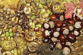 stock photo of beechnut  - Colorful chestnuts - JPG