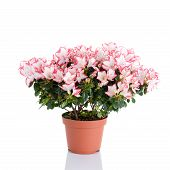 Blooming Plant Of Azalea In Flower Pot Isolated On White Background poster