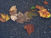 Fallen Leaves In The Water Colorful Dead Leaves Fallen Into The Ground And Covered With Water. poster