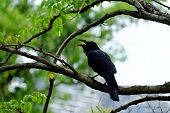 Black Raven Sitting On The Branch Of The Tree And Shouting Out With White Blur Background And Green  poster