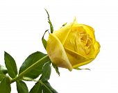 picture of yellow rose  - Beatiful yellow rose on white isolated background - JPG