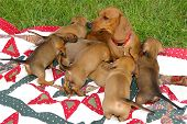image of puppies mother dog  - Dachshund mother with her 7 puppies playing on a blanket on the lawn - JPG