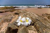 White Frangipani (plumeria) Spa Flowers On Rough Stones