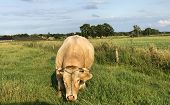 Huge Pedigree Limosine Bull Cow Grazing In The Sun On A Summer Meadow poster