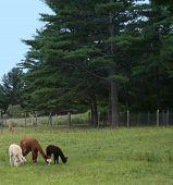 Alpaca With Crias
