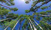 Copas de los árboles de álamo temblón