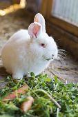 stock photo of rabbit hutch  - little white rabbit eating grass and carrots - JPG