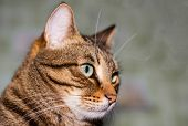 Portrait Of The Head Of A Brown-striped Cat In Profile. Feline Face With Bright Eyes, Close-up. Euro poster