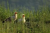 Two Egyptian Vultures (neophron Percnopterus) Sitting In The Grass With The Rocks And Green Backgrou poster