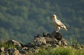 Egyptian Vulture (neophron Percnopterus) Sitting On The Rocks With Green Grass Around And Green Back poster