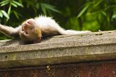 Monkey Sunbathing on a Ledge