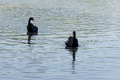 Two Black Swans Floating On The Water, Beautiful Graceful Birds Of Black Color. Swans With A Red Bea poster